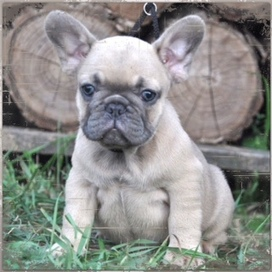 And Specialize In Hand Raising Exquisite French Bulldogs We Breed For Quality Not Quany Produce All Colors Of The Breeds Including Fawn Cream